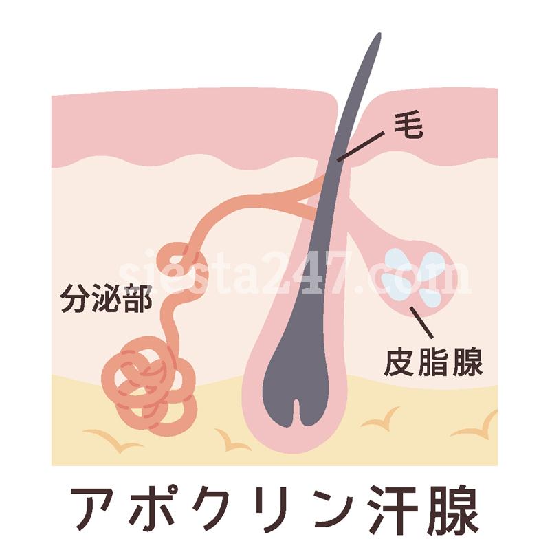 耳垢が湿っている原因は、アポクリン腺からの汗です。